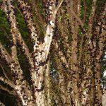 Brazilsko grožđe – Drvo čiji plodovi rastu iz debla