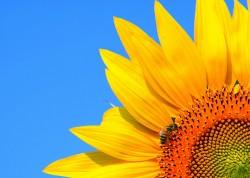Suncokretova neobična istorija