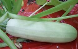 Čudesno povrće zvano tikvica