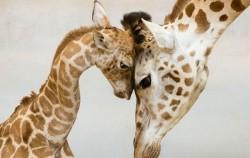 25 najslađih trenutaka roditeljstva u životinjskom carstvu
